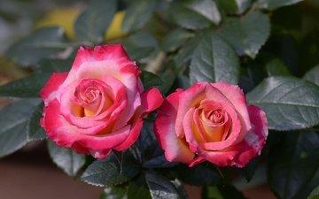 цветы, бутоны, листья, макро, розы, лепестки