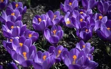цветы, лепестки, весна, крокусы