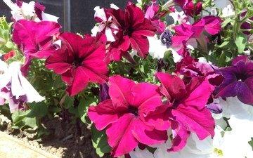 flowers, summer