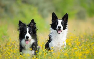 flowers, meadow, pair, dogs, the border collie, two dogs
