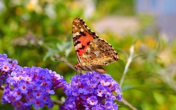 flowers, macro, insect, butterfly, wings, spring