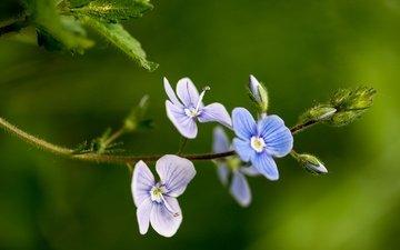 цветы, макро, фон, лепестки, стебель, вероника