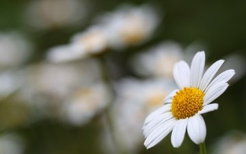 flowers, macro, summer, petals, chamomile, white