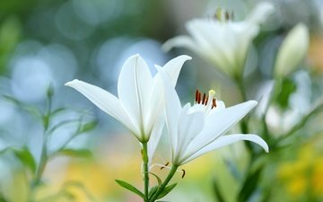 flowers, flowering, buds, macro, garden, lily, the daylilies, white lilies