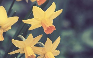 flowers, spring, daffodils