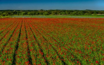 the sky, flowers, field, horizon, red, maki