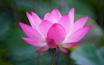 природа, листья, макро, цветок, лепестки, лотос