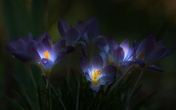light, flowers, grass, drops, petals, darkness, crocuses
