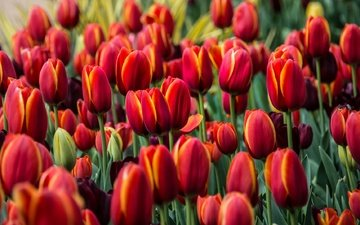 flowers, buds, red, tulips