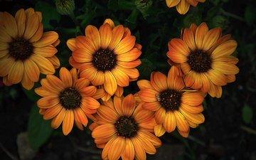 flowers, petals, yellow, osteospermum
