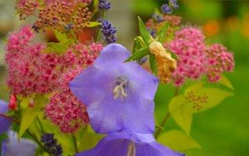 цветы, колокольчики, полевые цветы