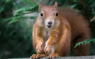 nature, tree, look, blur, protein, tail, squirrel, rodent