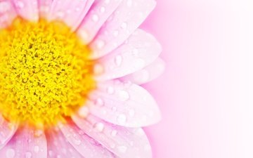 background, flower, drops, petals, pink, daisy