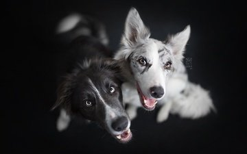background, look, friends, dogs, faces, the border collie
