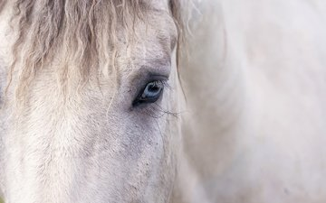 horse, background, eyes, mane