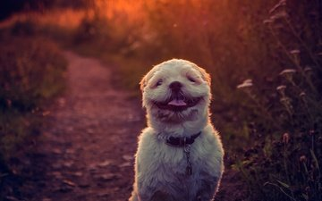sunset, background, smile, dog, language, shih tzu, e b