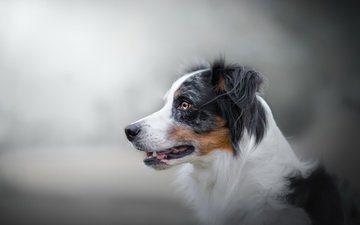 background, look, dog, australian shepherd