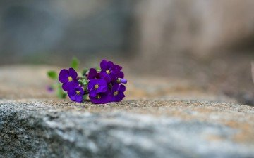 flowers, macro, background, pansy, eyes, violet