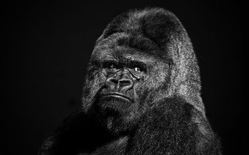 face, look, black and white, animal, monkey, gorilla