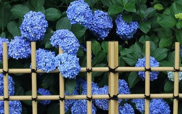 flowers, leaves, the fence, inflorescence, hydrangea