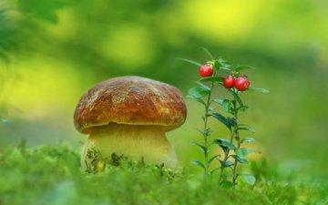 природа, гриб, мох, ягоды, белый гриб, aleksandr hvozd