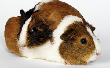look, pair, white background, faces, rodent, guinea pig