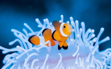sea, clown, fish, underwater world, clown fish, actinium