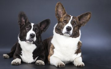 cardigan, dogs, welsh corgi, corgi