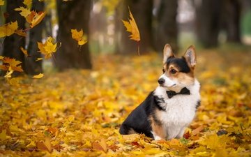 leaves, autumn, dog, welsh corgi, corgi, pembroke