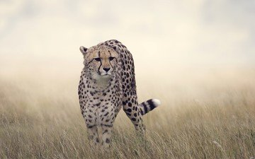 grass, cat, predator, big cat, cheetah, bokeh