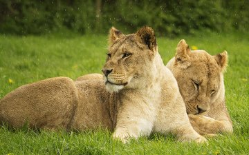 кошки, львы, большие кошки, львицы