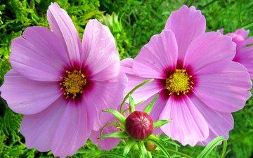 цветы, бутоны, лепестки, розовые, космея