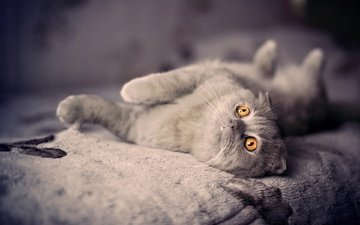 cat, look, kitty, bed, lying, british shorthair, orange eyes