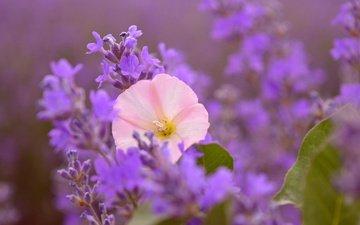цветы, лаванда, размытость, розовый цветок