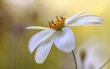 цветок, лепестки, боке, космея