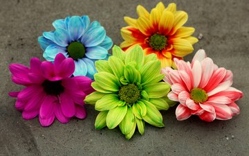 petals, colorful, gerbera, flowers