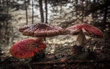 nature, forest, mushrooms, amanita