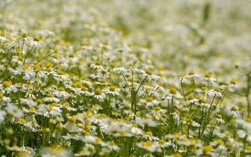 flowers, summer, petals, meadow, chamomile, white