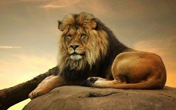 лежит, хищник, дикие кошки, лев