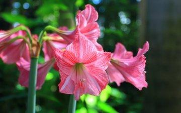 flowers, stems, lily, amaryllis