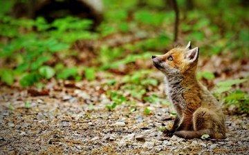 природа, мордочка, взгляд, лиса, лисица, лисенок
