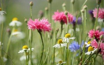 цветы, лето, луг, ромашки, стебли, васильки, полевые цветы