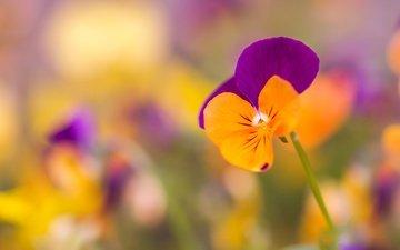 цветы, макро, лепестки, размытость, анютины глазки, боке, виола