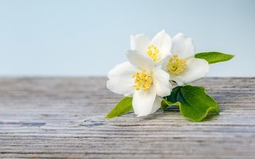 flowering, macro, white, spring, jasmine, wooden surface