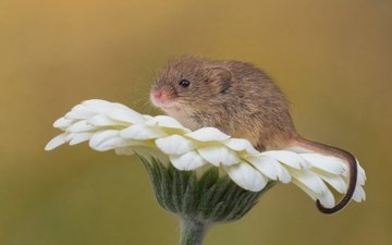 macro, background, flower, mouse, gerbera, rodent, the mouse is tiny