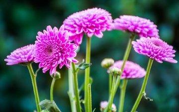 flowers, macro, stem, chrysanthemum, bokeh