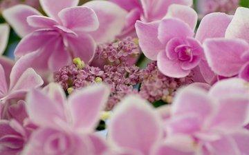 flowers, macro, petals, pink, inflorescence, hydrangea