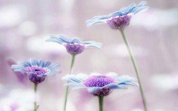 macro, petals, stems, lilac, argyranthemum