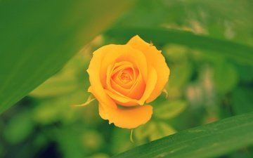 macro, flower, rose, blur, bud, bokeh, yellow rose