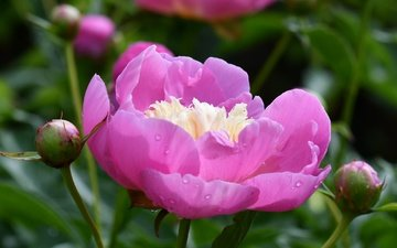 buds, leaves, macro, flower, petals, pink, peony